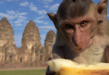 Lopburi Maymun Festivali | Tayland