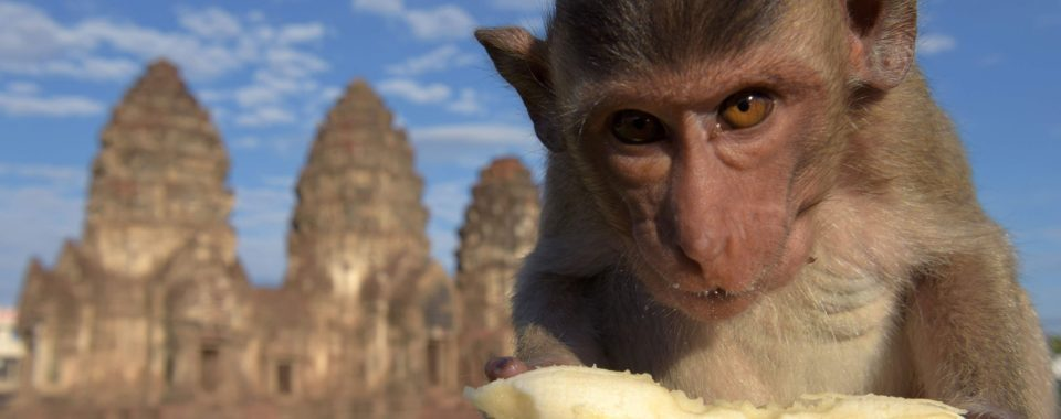 Lopburi Maymun Festivali   Tayland